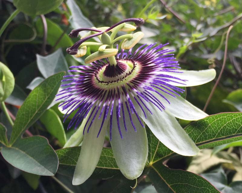 Passiflora caerulea, Blue Passionflower -
