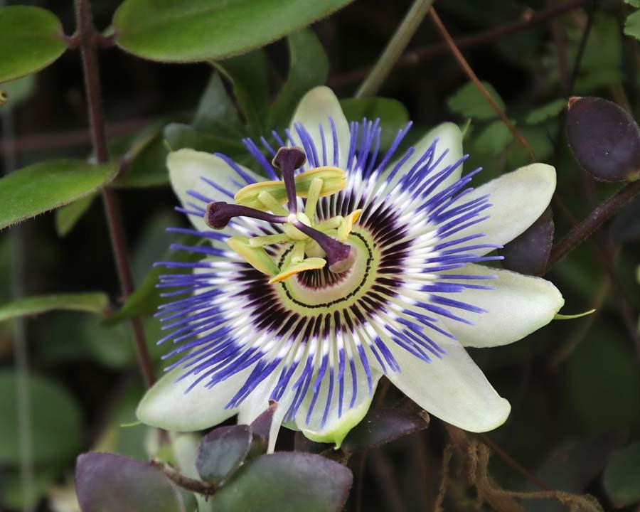 Passiflora caerulea, Blue Passionflower