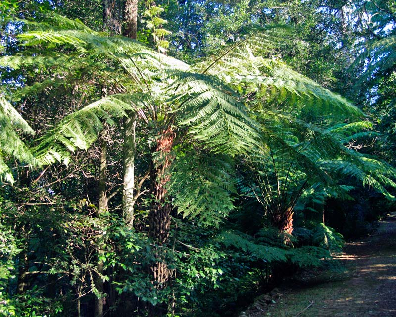 Cyathea australis - planted to give rainforest feel