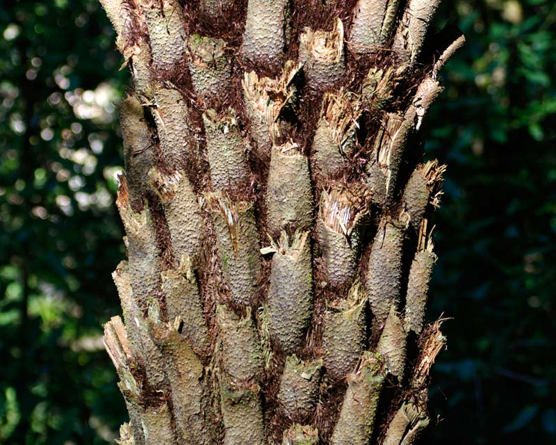 Cyathea australis - common name comes for rough leaf bases