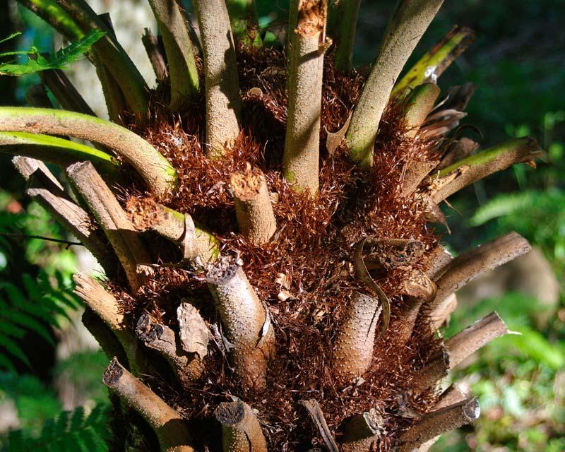 Cyathea australis - orange-brown soft scales at base of fronds