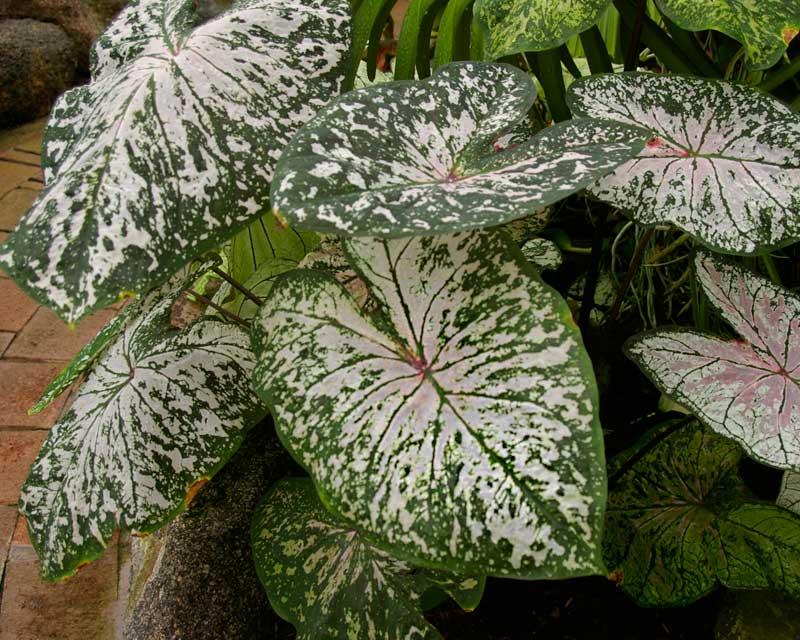 Caladium Cultivars