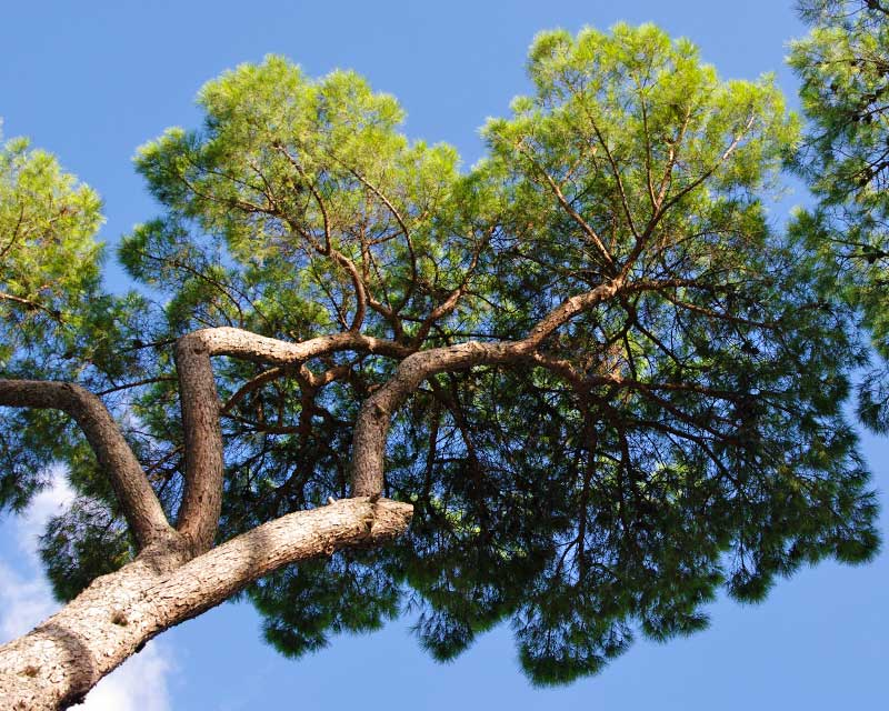 Pinus pinea, the Italian Stone Pine