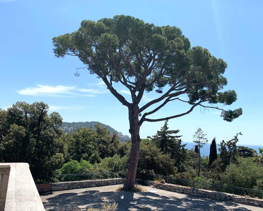 Pinus pinea, Stone Pine - Colline du Chateau, Nice, France