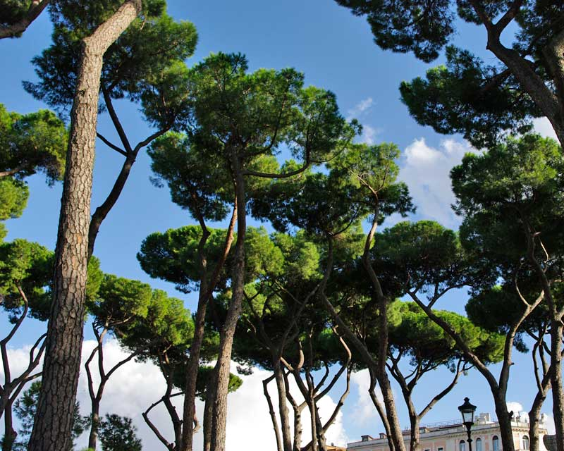 Pinus pinea, the Italian Stone Pine - seen here at the Borghese Gardens in Rome