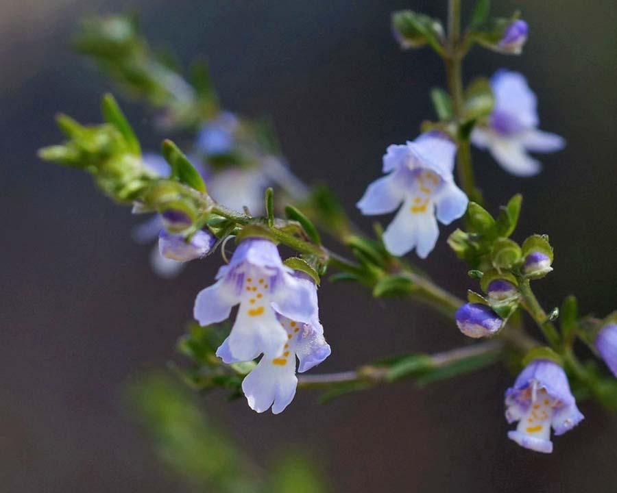 Prostanthera saxicola - Native mint - photo Tatiana Gerus