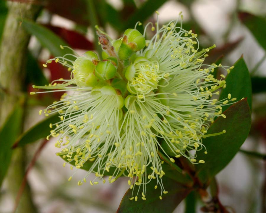 Callistemon pallidus - pale yellow bottle brush flowers