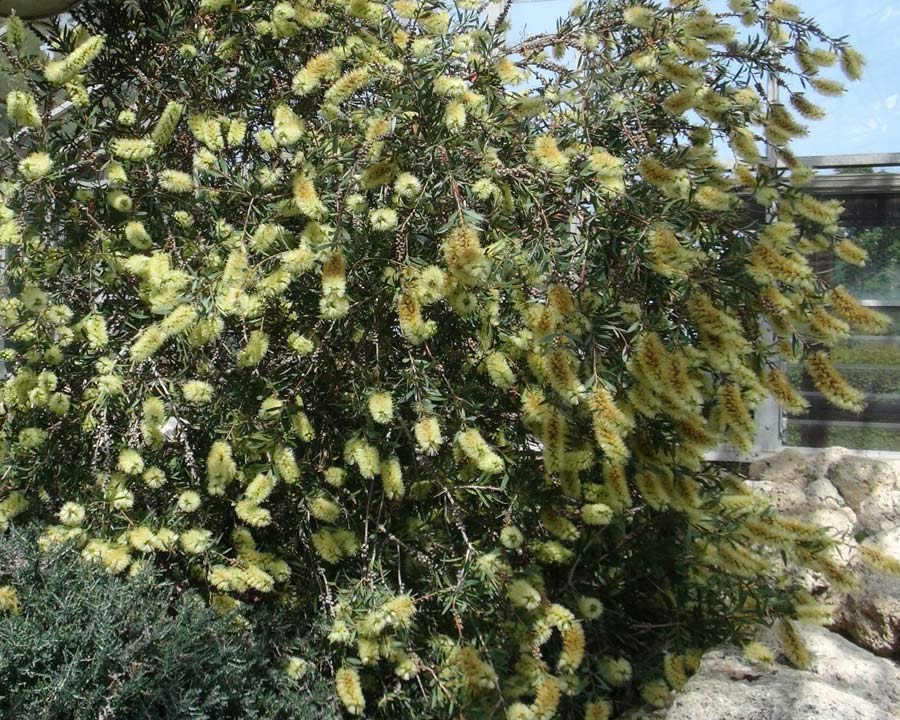 Callistemon pallidus - upright and bushy shrub in spring covered with pale yellow bottle-brush flowers
