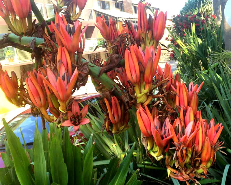 Doryanthes palmeri, the Giant Sword Lily