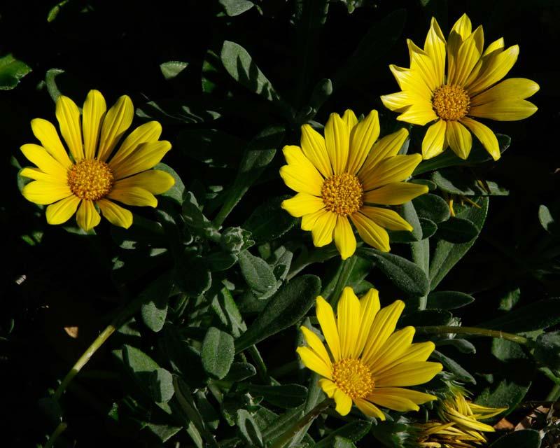 Yellow daisy-like flowers of Gazania tomentosa