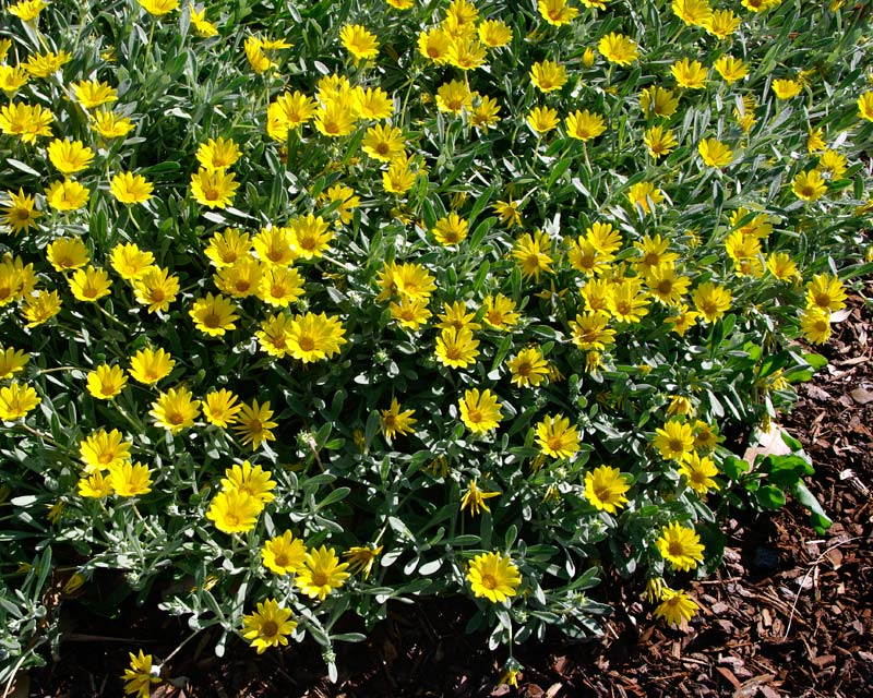 Yellow flowers and grey green leaves - Gazania tomentosa will happily grow close to the sea
