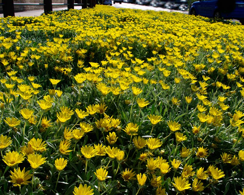 Mass display of yellow flowers close to Deewhy beach Sydney