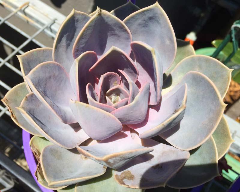 Echeveria x perle von nurnburg