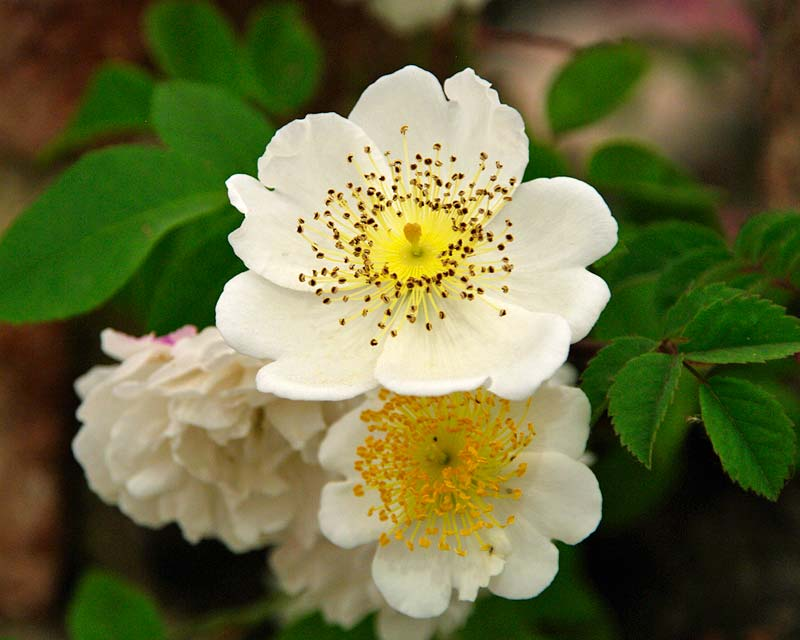 Rosa arvensis, the Field Rose, one of the 100 or so original Rose species
