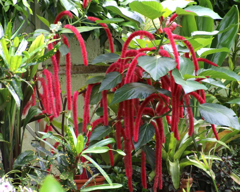 Acalypha hispida, the Chenille Plant