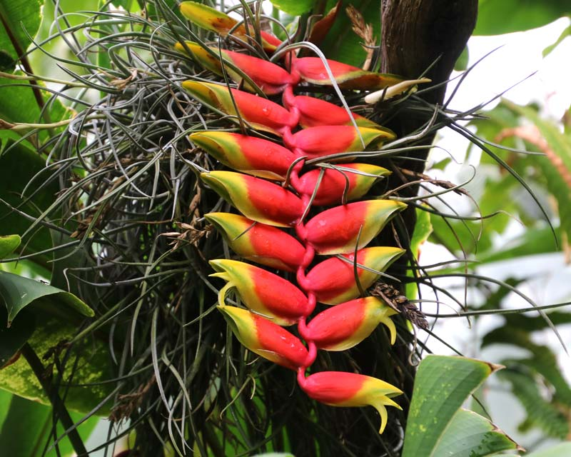 Heliconia rostrata, Hanging Lobster Claw