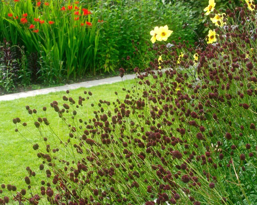 Sanguisorba officinalis 'Chocolate Tip'