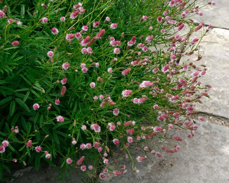 Sanguisorba officinalis Pink Tana