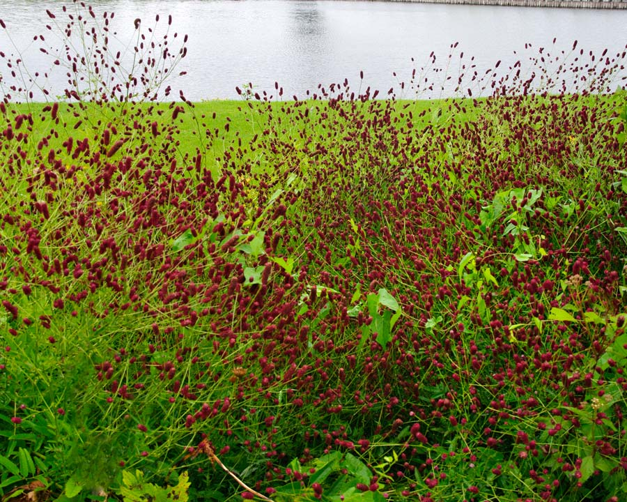Sanguisorba officinalis 'Red Thunder'