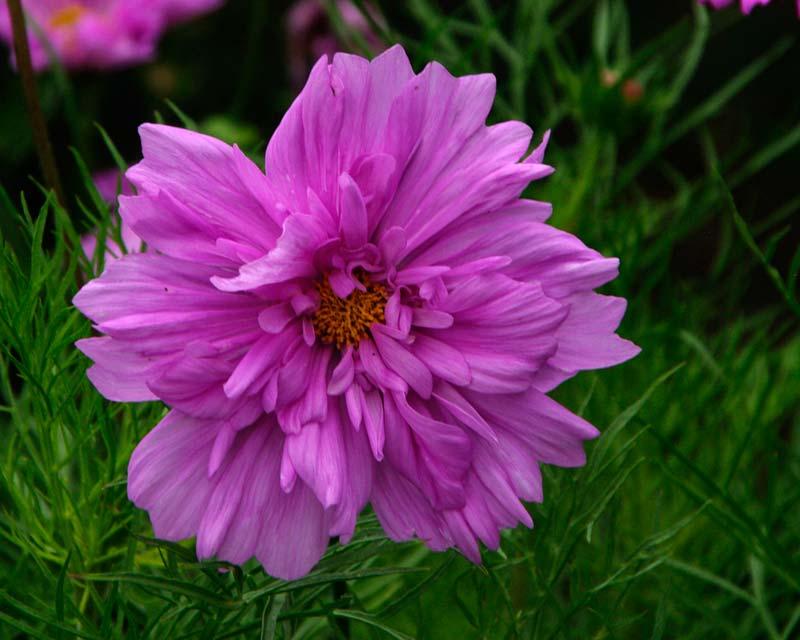 Cosmos cultivar - double pink
