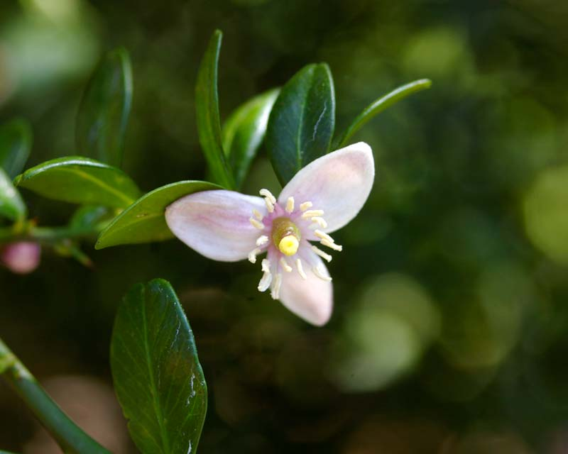 Three petal flowers of Citrus australasica