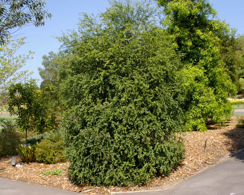 Citrus australasica - Finger Lime - Mount Annan Botanic Garden Sydney