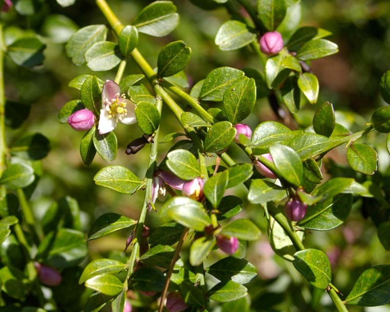 Leaves and pink and white flowers of the Finger lime