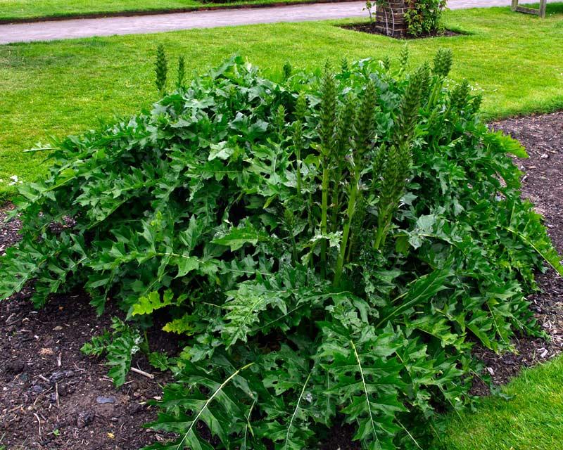 Gardensonline Acanthus Hungaricus Syn Acanthus Balcanicus