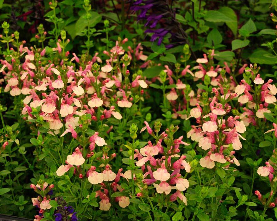 Salvia x jamensis 'Sierra San Antonio' has pretty two tone peachy coloured flowers