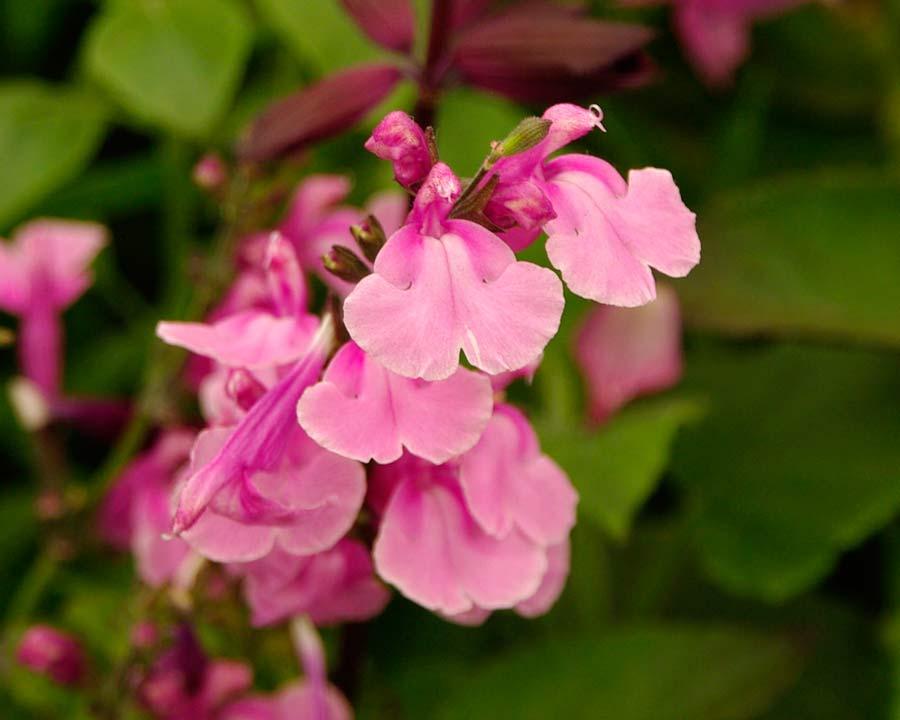 Salvia x jamensis 'Krystle Pink' has delicate two pink flowers