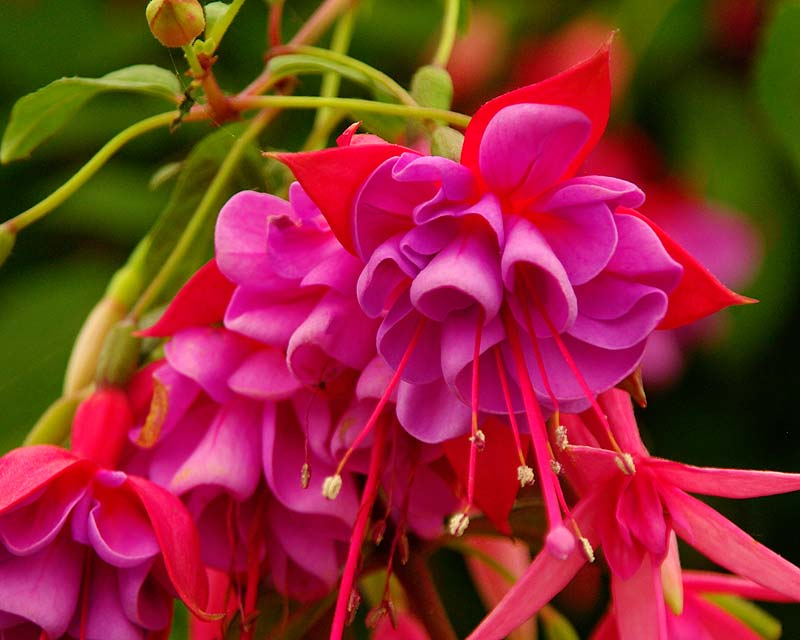 Fuchsia Upright - this is 'Edith Jack' a hardy variety