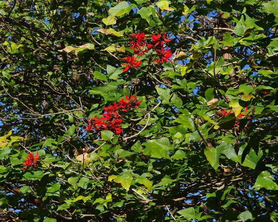 Erythrina x sykesii  Clusters of scarlet pea-like flowers -