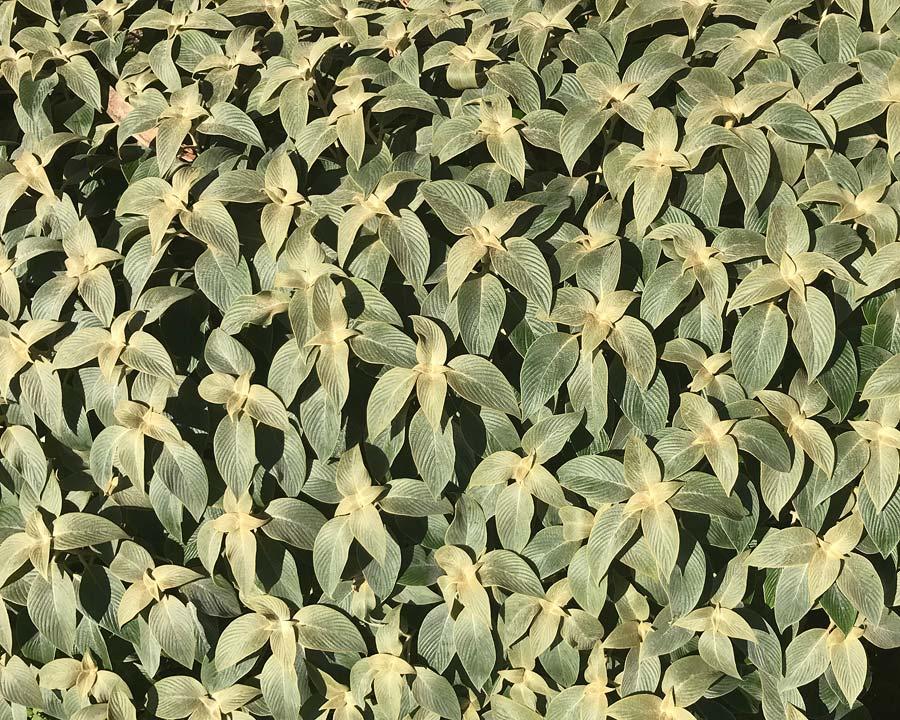 Strobilanthes gossypinus - the Pewter Plant