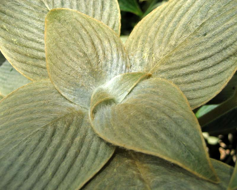 The Pewter Plant Strobilanthes gossypinus - soft golden brown hairs on new growth