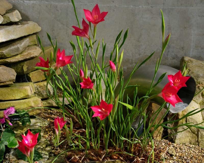 gardensonline  gladiolus carmineus
