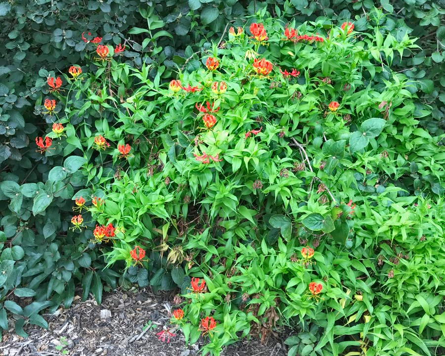Gloriosa Rothschildiana - the Flame lily - Melbourne Botanic Gardens