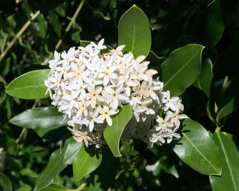 Acokanthera oblongifolia, or Bushman's Poison