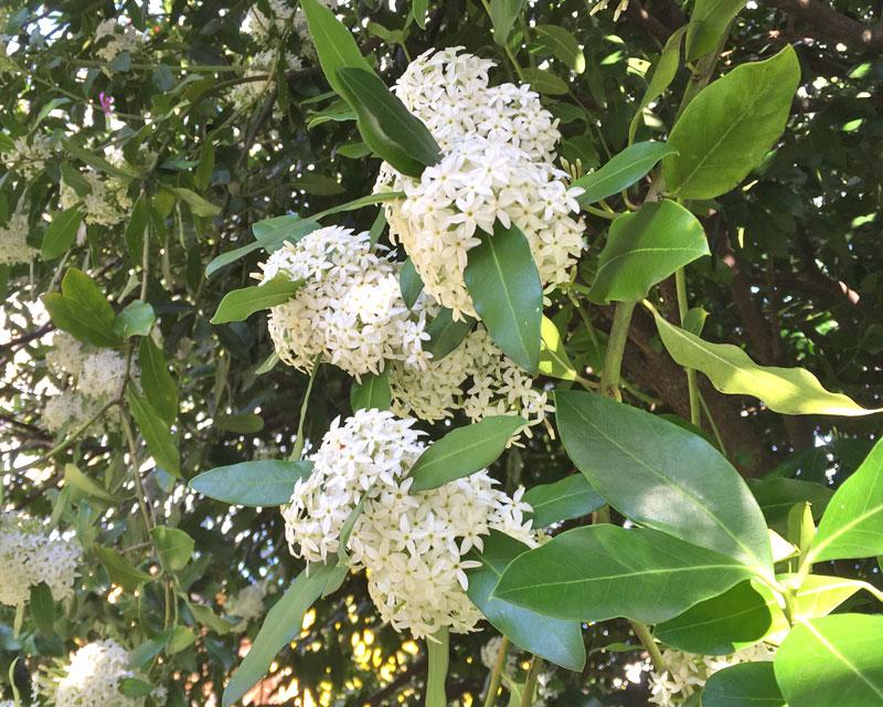 Acokanthera oblongifolia