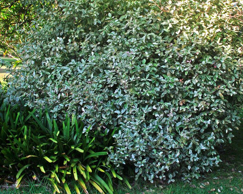 Acokanthera oblongifolia variegata