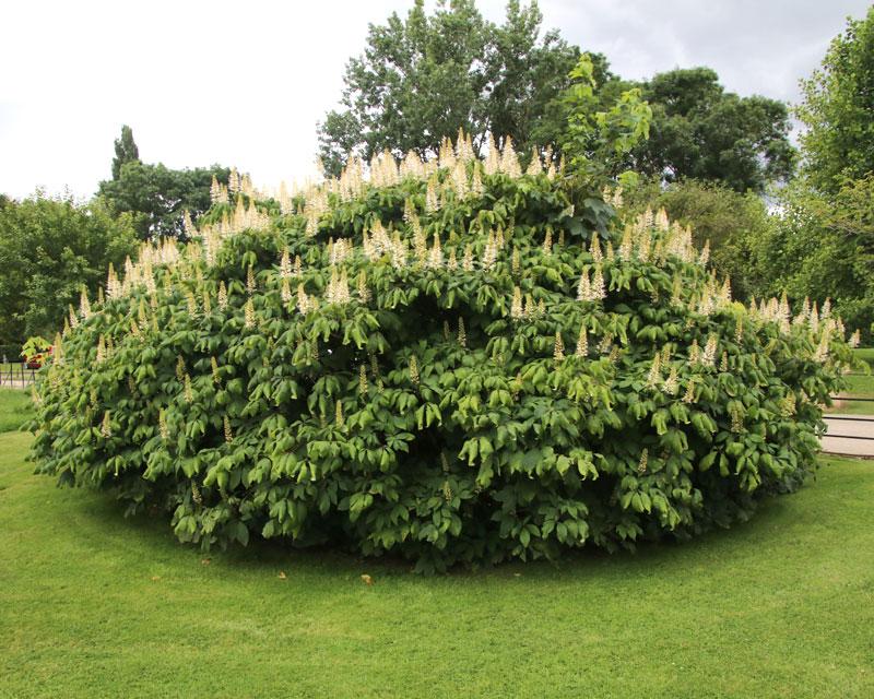 Aesculus parviflora, the Bottlebrush Buckeye