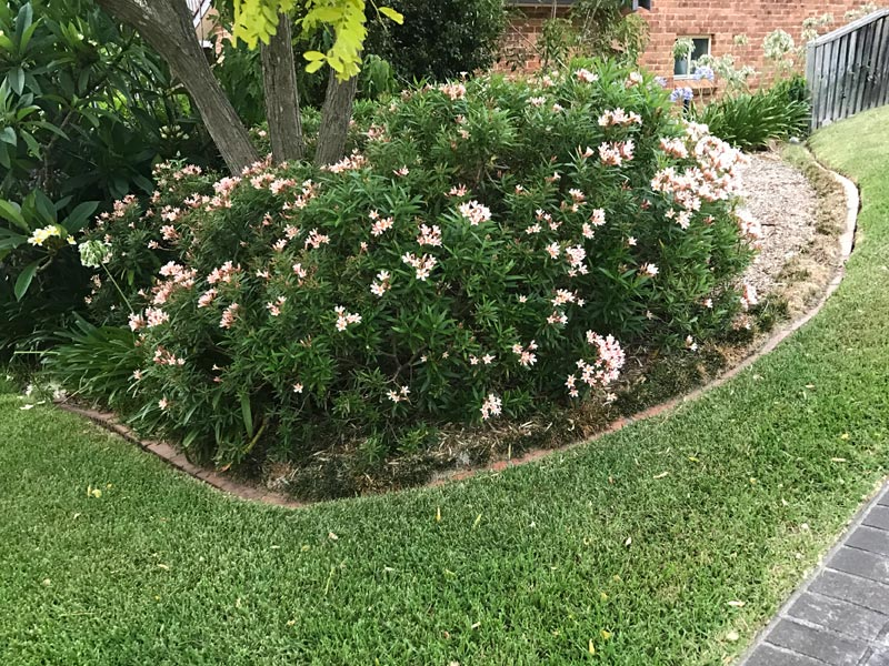 Nerium oleander Dwarf