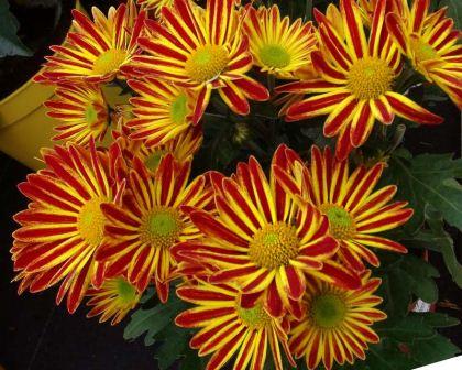 Geliebte Chrysanthemum indicum | GardensOnline #GZ_78