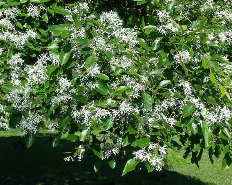 Chionanthus retusus - Chinese Fringetree