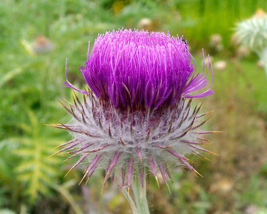 Onopordum acanthium - Scottish thistle with deep mauve flowers