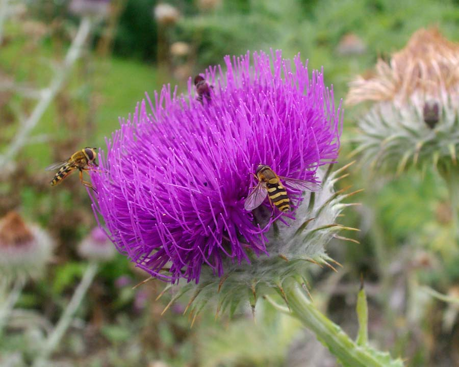 Onopordum acanthium - Scottish Thistle - Hover flies feeding on nectar