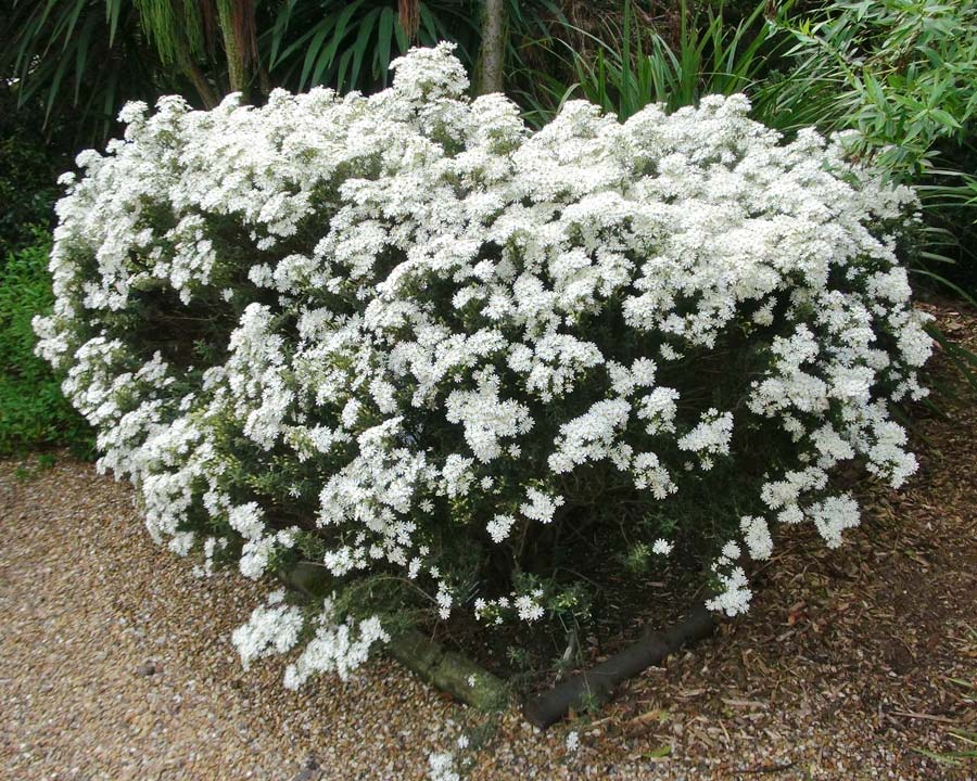 Gardensonline Olearia Phlogopappa
