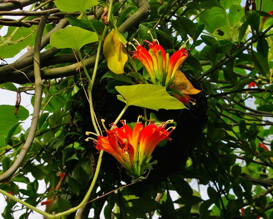 Aeschynanthus speciosus - the Basket Plant