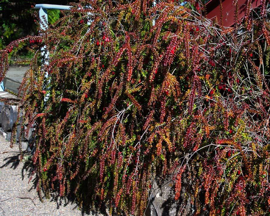 Agapetes serpens - red flowers hanging below arching stems