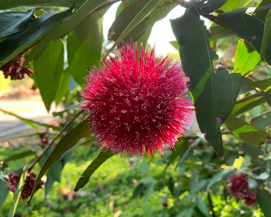 Syzygium wilsonii, the PowderPuff Lilly Pilly