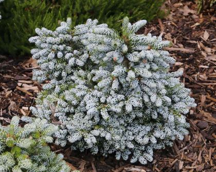 Abies Koreana Ice Breaker Gardensonline